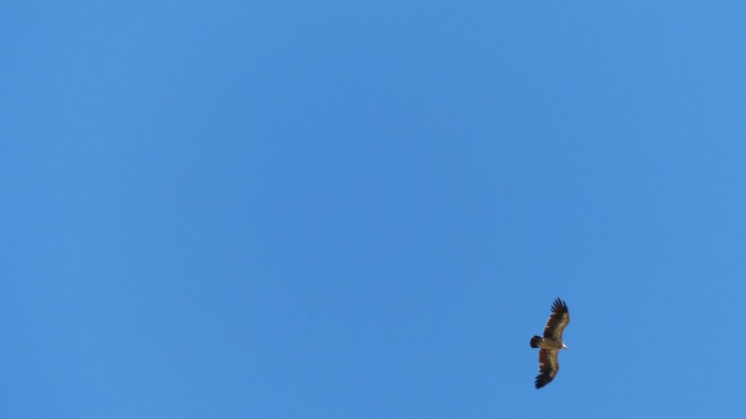 Désert de Gobi - vautour