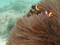 Finding Nemo - Koh Lipe