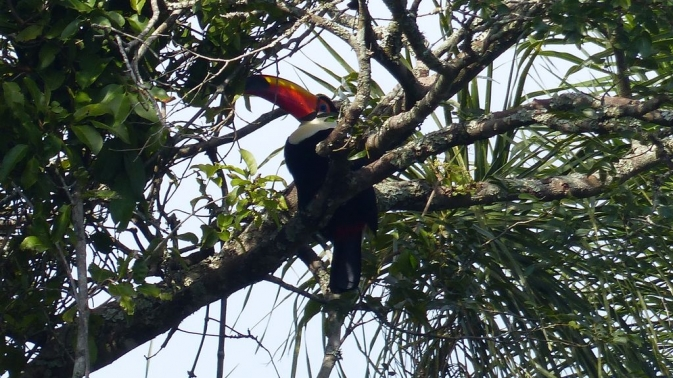 Chutes d\'Iguazú - Toucan